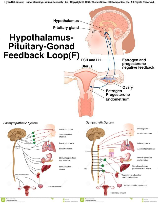 Hypothalamus-P-G Feedback and innervation panorama