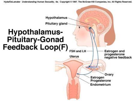 Hypothalamus-Pituitary-Gonad Feedback Loop