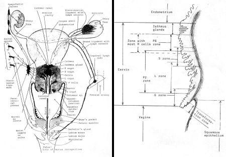 Prof. Erik Odeblad's sketches from www.woombeuskadi.org...4_erik_odeblad(secrecion_cervix).pdf 13 February 2008