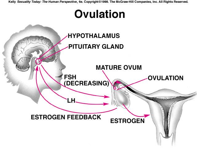 теперь рассмотрим менструальный цикл и цистит будет работать