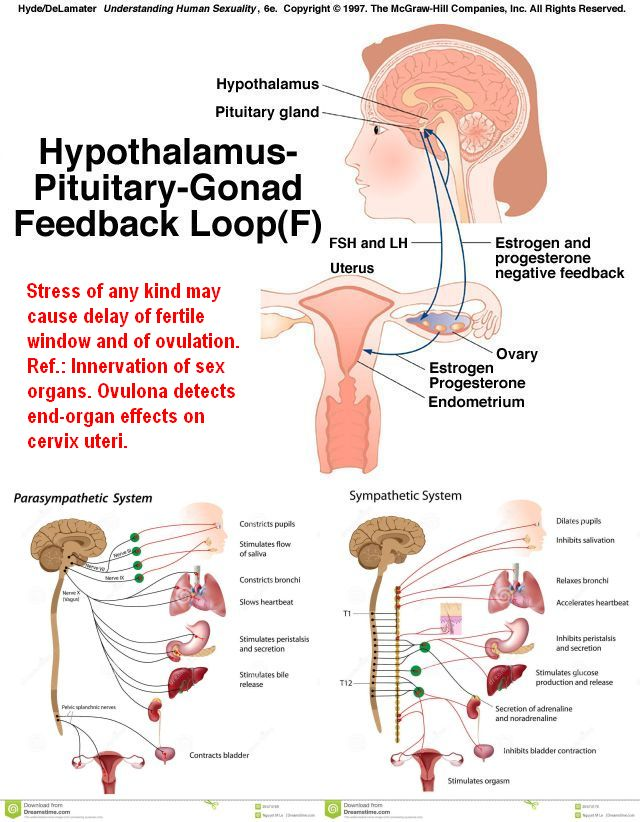 Hypothalamus-P-G Feedback and innervation panorama with text (stress)